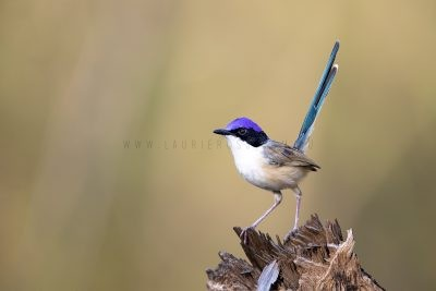 Fairywrens