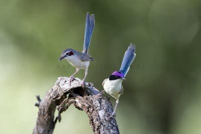 Purple-crowned Fairy-wren - Pair