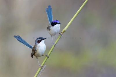 Purple-crowned Fairy-wren - Pair Coronatus.1