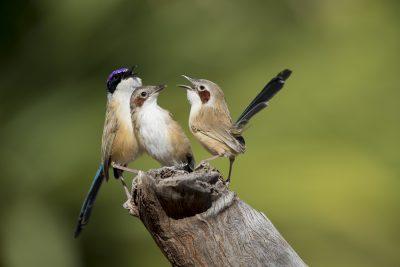 Purple-crowned Fairywren- Family (Malurus coronatus coronatus).