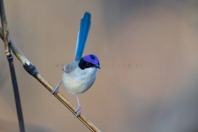Purple-crowned Fairywren - Male (Malurus coronatus coronatus)1
