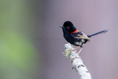 Red-backed Fairywren - Male