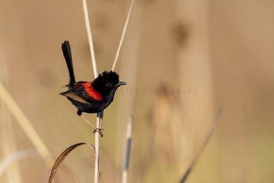 Red-backed Fairywren - Male (Malurus melanocephalus melanocephalus).1