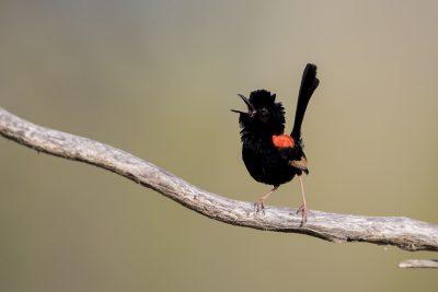 Red-backed Fairywren - Male singing (Malurus melanocephalus melanocephalus)