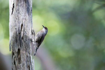 Red-browed Treecreeper - Male (Climacteris erythrops)