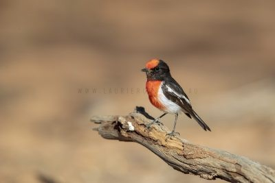 Red-capped Robin - Male (Petroica goodenovii).2