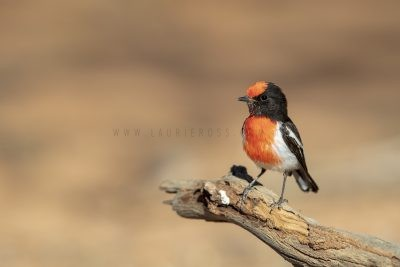 Red-capped Robin - Male (Petroica goodenovii).3