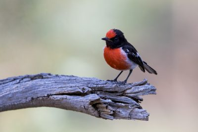 Red-capped Robin - Male (Petroica goodenovii)1