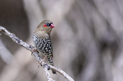 Red-eared Firetail.