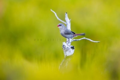 Red-eared Firetail - Juvenile.