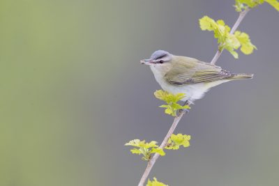 Red-eyed Vireo (Vireo olivaceus)1
