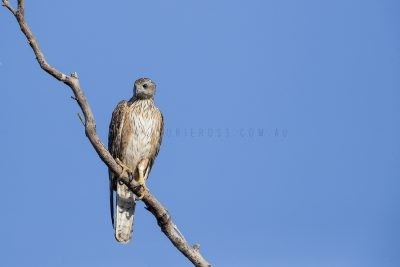 Red Goshawk - Female