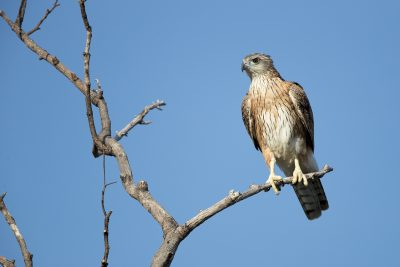 Red Goshawk - Female (Erythrotriorchis radiatus)
