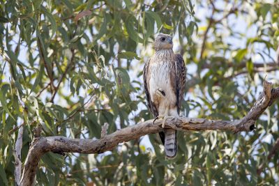 Red Goshawk, Female (Erythrotriorchis radiatus)