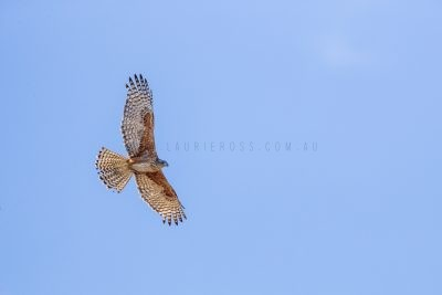 Red Goshawk - Female in flight.