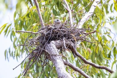 Red Goshawk - Female on nest
