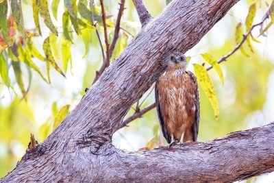 Red Goshawk - Male