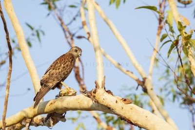 Red Goshawk - Male (Erythrotriorchis radiatus).1
