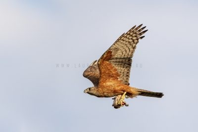 Red Goshawk - Male in flight (Erythrotriorchis radiatus)