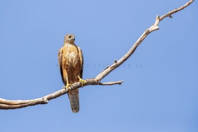 Red Goshawk - Male1