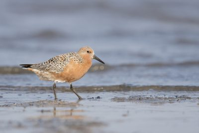 Red Knot (Calidris canutus)
