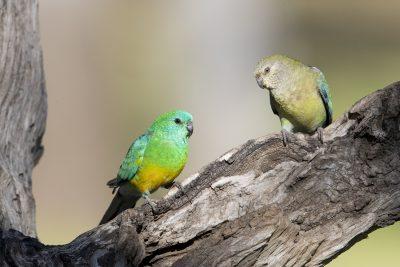Red-rumped Parrot - Pair (Psephotus haematonotus)