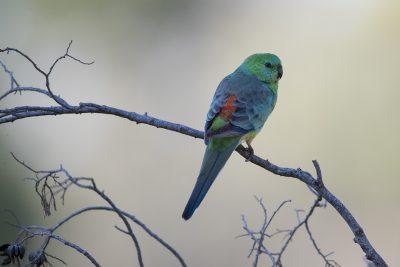 Red-rumped Parrot (Psephotus Haematonotus Haematonotus) - Back Yamma, NSW