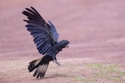 Red-tailed Black-cockatoo - Female Landing