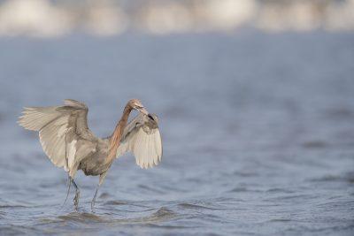 Reddish Egret - Fishing (Egretta rufescens)