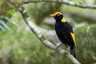 Regent Bowerbird - Male (Sericulus chrysocephalus).2