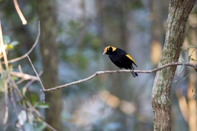 Regent Bowerbird - Male (Sericulus chrysocephalus)1