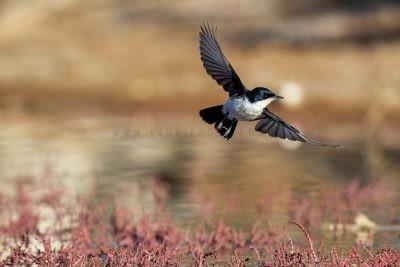 Restless Flycatcher - In Flight (Myiagra inquieta inquieta)