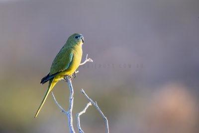 Rock Parrot (Neophema petrophila zietzi)