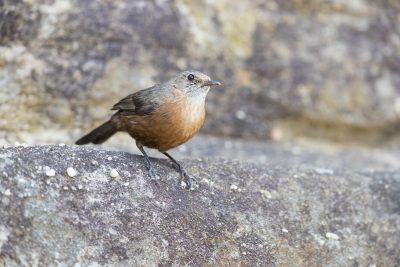 Rock Warbler (Origma solitaria) - Royal National Park, NSW
