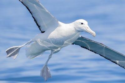 Royal Albatross - Portrait