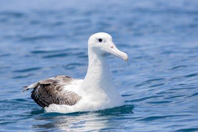Royal Albatross (Southern)