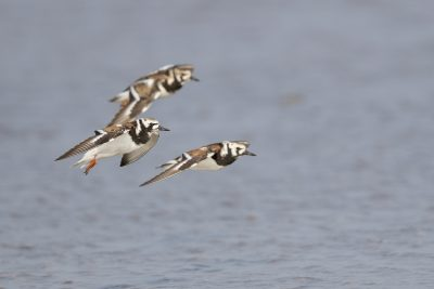 Ruddy Turnstone - In Flight (Arenaria interpres)