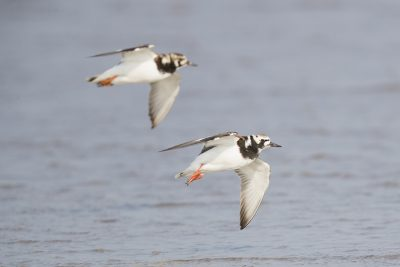 Ruddy Turnstone - In Flight (Arenaria interpres)1