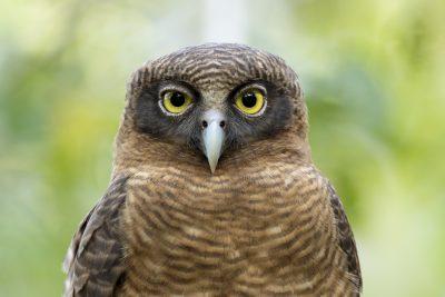Rufous Owl - Close Up (Ninox rufa)