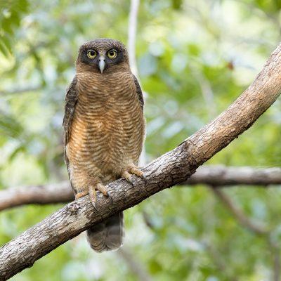 Hawk-owls & Masked Owls