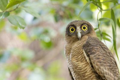 Rufous Owl - Portrait (Ninox rufa rufa)