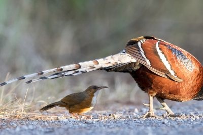 Rusty-cheeked Scimitar-babbler under Mrs Humes Pheasant