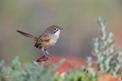 Rusty Grasswren - Female (A.m.rowleyi)2