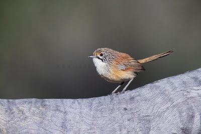 Rusty Grasswren - Male (A.m.rowleyi).5