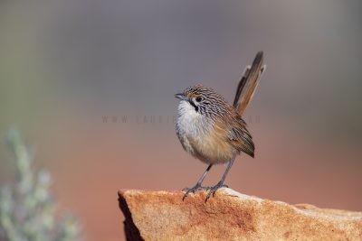 Rusty Grasswren - Male (A.m.rowleyi).7