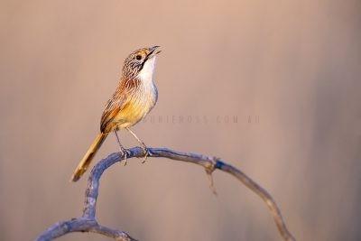 Rusty Grasswren - Male Calling