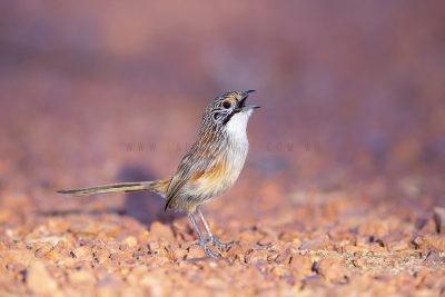 Rusty Grasswren - Male Calling.