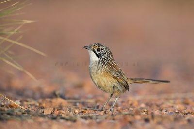 Rusty Grasswren - Male on ground (A.m.rowleyi)