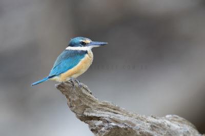 Sacred Kingfisher - Adult (Todiramphus sanctus sanctus)