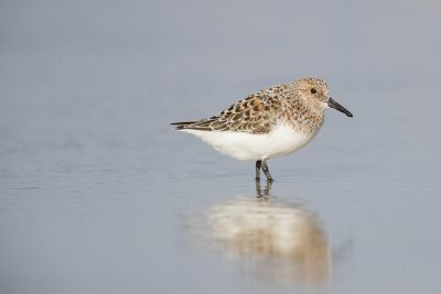 Sanderling - Breeding (Calidris alba)